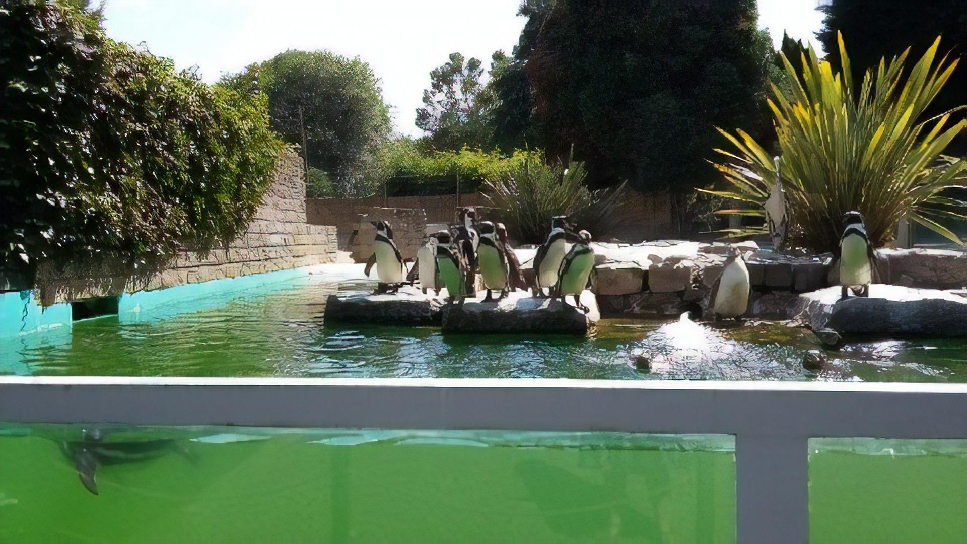 Humboldt penguins at Penguin Island